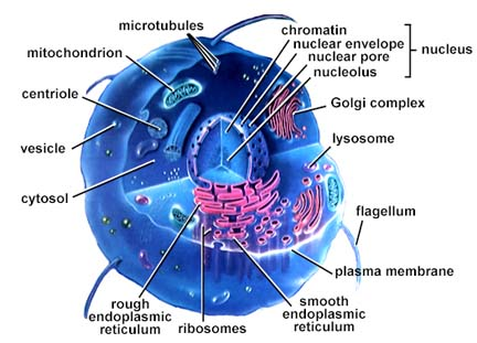 eucrotype cell