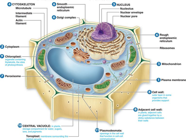 Sobota kelli previous school biology supplemental material plant cell diagram ccuart Image collections