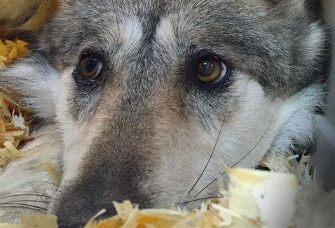 Meet Bella, Trailside's Adopted Wolf