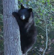 Living with Black Bears in Virginia