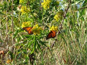 Monarchs on Golden Rod